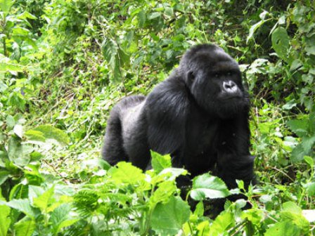A Mountain Gorilla in Bwindi Impenetrable National Park