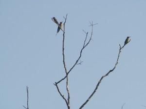 Madagascar Bee-eaters, Kasenge Forest