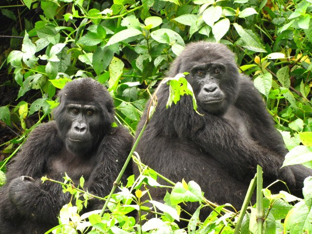 Mountain Gorilla tracking in Bwindi Impentrable National Park