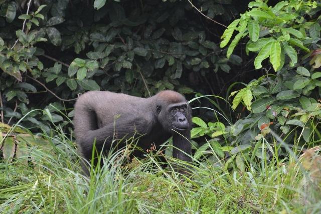 Sosa the Killed Gorilla.