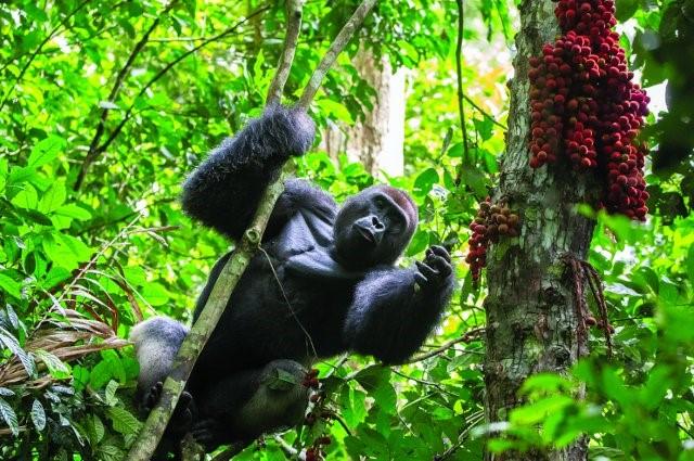 Gorilla Medicine