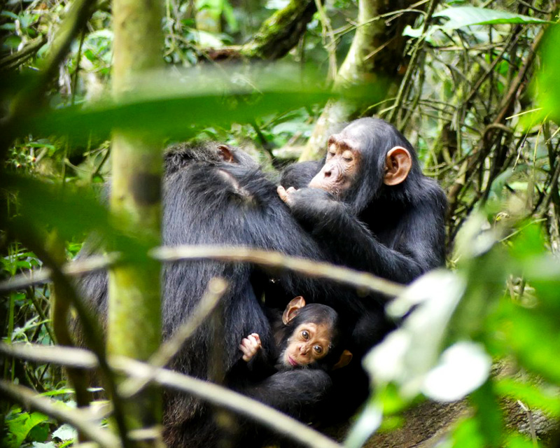 2 Days Chimpanzee tracking Kibale forest safari with a guided nature walk in Bigodi wetland sanctuary