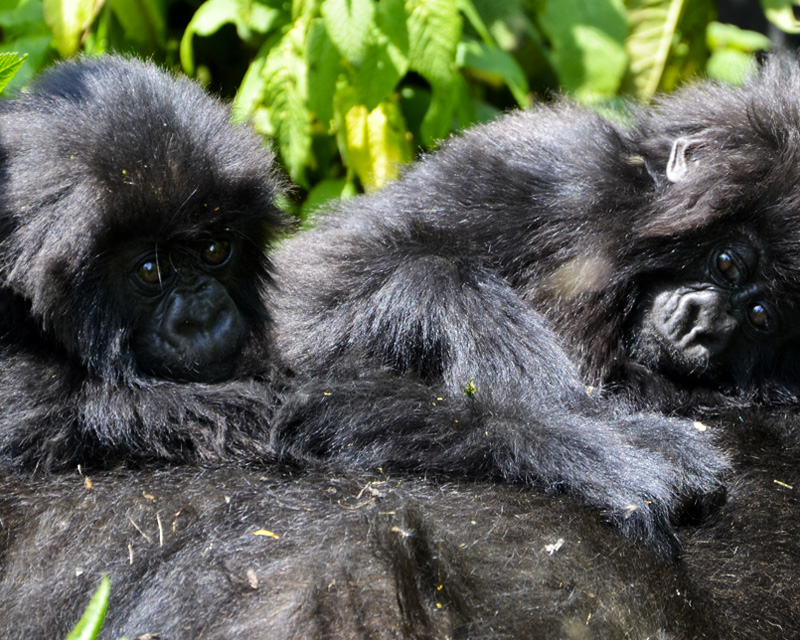 2 Days gorilla tracking safari Rwanda with Kigali city tour and a visit to the genocide memorial sites and Ibyiwacu Cultural village