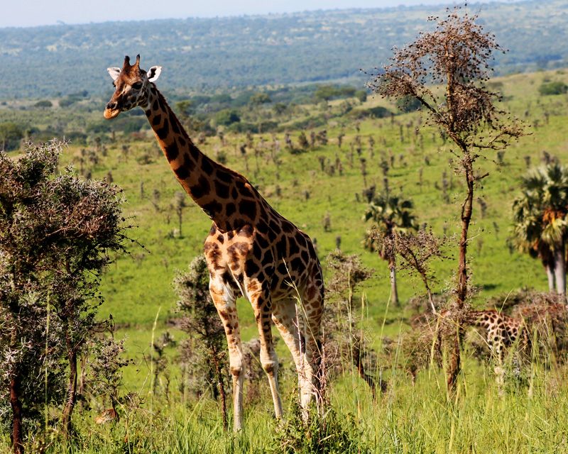 2 Days Murchison Falls national park safari with wildlife spotting, Victoria Nile boat cruise and top of the fall hike