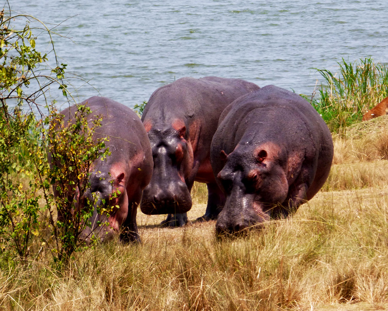 2 Days Queen Elizabeth national park safari for big game sightings with a Boat ride along the Kazinga Channel