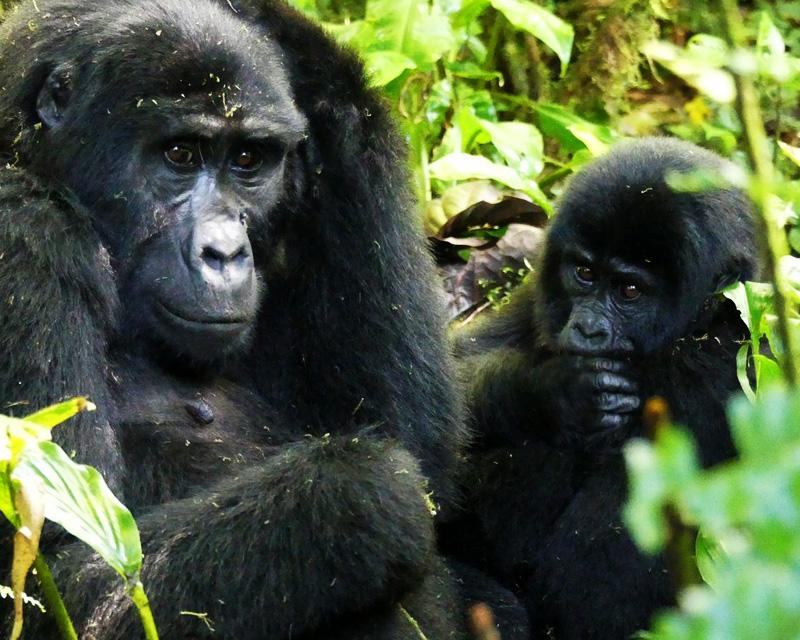 3 Days gorilla tracking Mgahinga safari to seeing mountain gorillas from Ugandas smallest national park