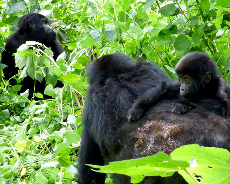 3 Days Gorilla Trekking Rwanda safari for ultimate gorilla tracking experience plus a tour of Kigali city and a visit to the genocide memorial sites
