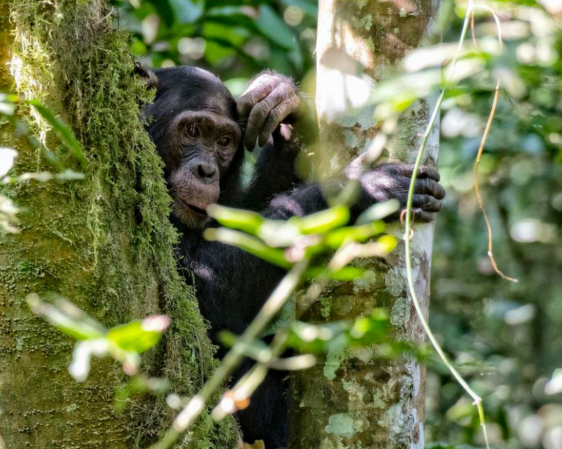 3 Days Rwanda Chimpanzee trekking safari with canopy walk in the Nyungwe forest national park plus a tour of Kigali City and visiting the genocide sites