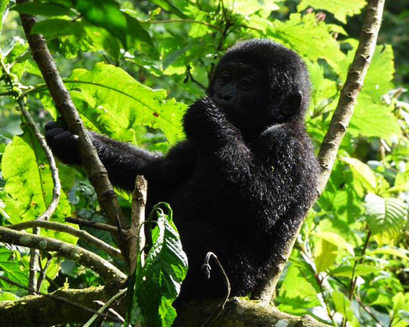 5 Days Queen Elizabeth and Gorilla Trekking bwindi